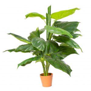 צמח ביפי בכד מוכן