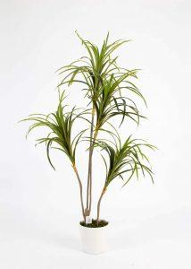 צמח יוקא בעציץ 120 סמ