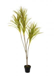 צמח יוקא בעציץ 175 סמ